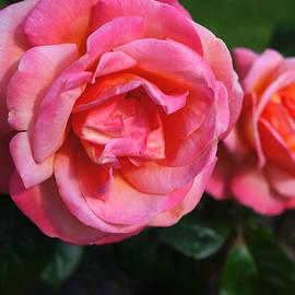 Helene Fallstrom - Soft pink roses
