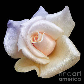 Jerry Cowart - Soft Sweet Rain Drops On White Rose Blossom
