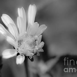 Alana Ranney - Soft White Petals