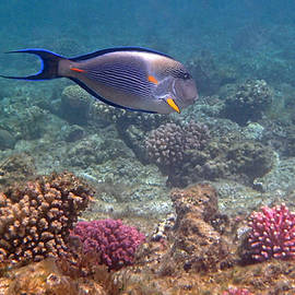 Johanna Hurmerinta - Sohal Surgeonfish Acanthurus sohal