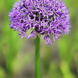 Nikolyn McDonald - Solitary Allium
