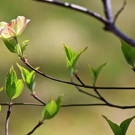 Teresa Mucha - Solitary Dogwood Bloom