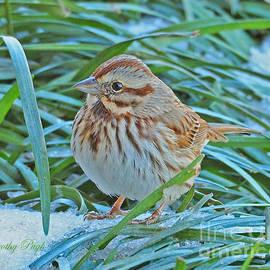 Dorothy Pugh - Song Sparrow in Winter