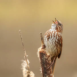 Kristina Rinell - Song Sparrow