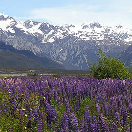 Lois Patrick - Southern Alps Lupins