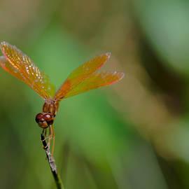 Linda  Howes - Sparkly Orange Dragonfly