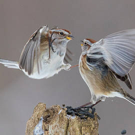 Mircea Costina Photography - Sparrows Fight