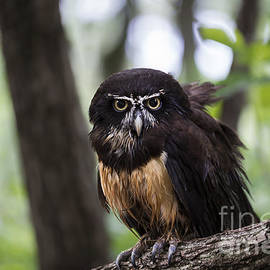 Andrea Silies - Spectacled Owl