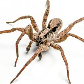 Joshua Spiegler - Spider