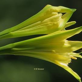 B Vesseur - Spider Lily