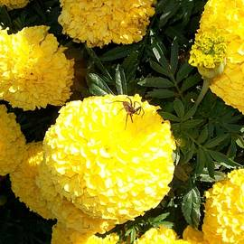 Sharon Duguay - Spider on Marigolds
