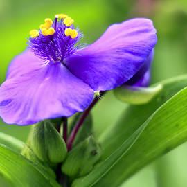 Geraldine Scull   - Spiderwort flower