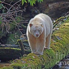 Myrna Bradshaw - Spirit Bear