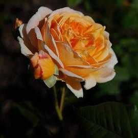 Helene Fallstrom - Splendid rose