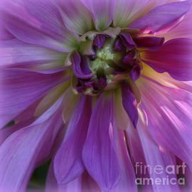 Dora Sofia Caputo Photographic Art and Design - Splendor in Purple - Dahlia