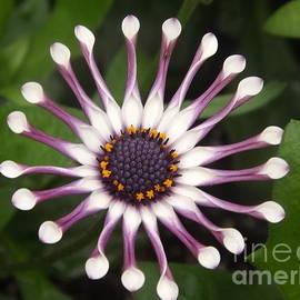 Lingfai Leung - Spooned Petals African Daisy