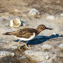 Norman Johnson - Spotted Sandpiper With A Fish