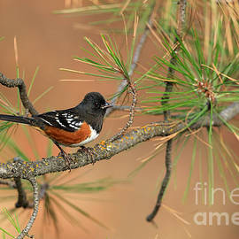 Reflective Moment Photography And Digital Art Images - Spotted Towhee
