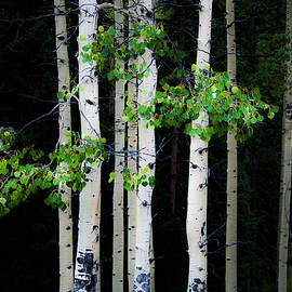 The Forests Edge Photography - Diane Sandoval - Spring Aspens