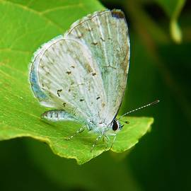 Rory Cubel - Spring Azure Butterfly  Celastrina laden  Spring  Indiana