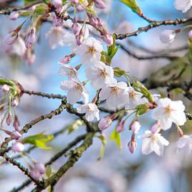 Jenny Rainbow - Spring Cherry Blossom