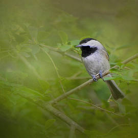 Jai Johnson - Spring Chickadee