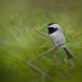 Jai Johnson - Spring Chickadee