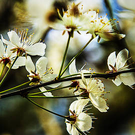 Barry Jones - Spring Delight - Dogwood Blossoms