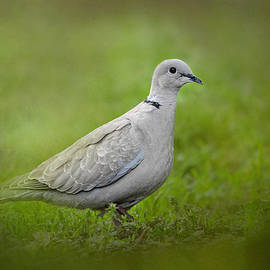 Jai Johnson - Spring Dove