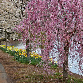 Allen Beatty - Cherry Blossom Trees of Branch Brook Park 13