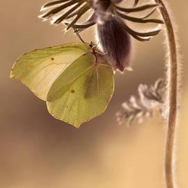 Jaroslaw Blaminsky - Spring impression with pasque flower