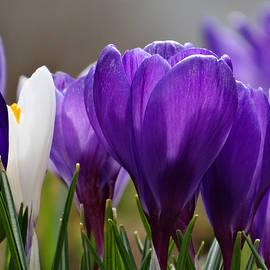 Dianne Cowen - Spring in Bloom