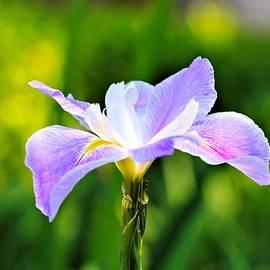 Katherine White - Spring Iris