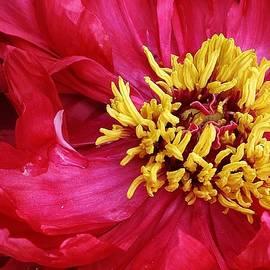 Bruce Bley - Spring Peony