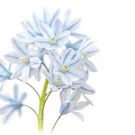 Jacky Parker - Spring Scilla