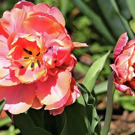 Trina Ansel - Spring Tulips