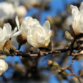 Rosanne Jordan - Springtime Magnolias