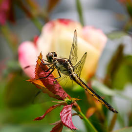 Laura Duhaime - Square Dragonfly with Rose