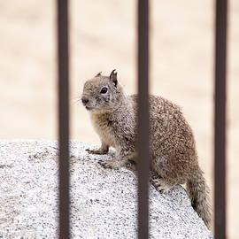 Squirrel Behind Bards
