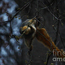Squirrel Hanging on for Buds