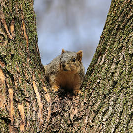 Theresa Campbell - Squirrel In Tree Fork