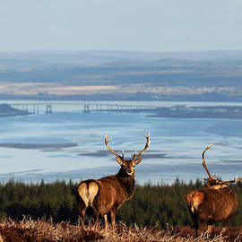 Gavin MacRae - Stags Above the Beauly Firth and Inverness