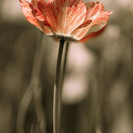 Ashley M Conger  - Stand Alone Tulip 4