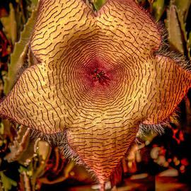 Robert Bales - Star Flower Cactus