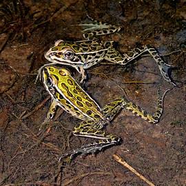 Asbed Iskedjian - Star Frogs