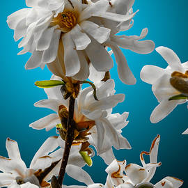 Brian Stevens - Star Magnolia
