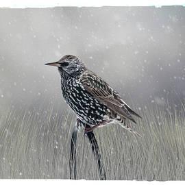 Cathy Kovarik - Starling In Winter
