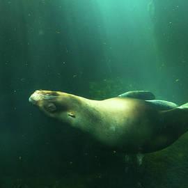 Edie Ann Mendenhall - Steller Sea Lion