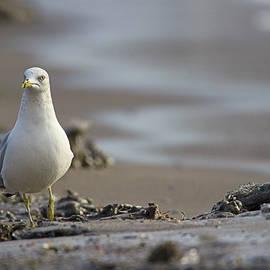 Spencer Bush - Stepping Up - Ring-billed Gull - larus delawarensis