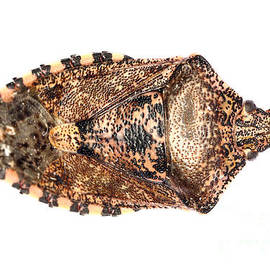 Gregory DUBUS - Stink bug top view